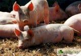 Трансплантират свински сърца на хора след 3 години