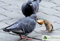 Какви зарази от градските гълъби са опасни за човека