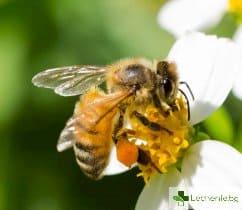 Пчелна отрова може да е пагубна за агресивен рак на гърдата