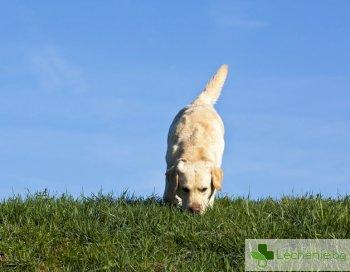 Кучета могат да изследват по 250 души в час за коронавирус