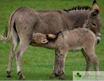 Притежава ли магарешкото мляко лечебни свойства
