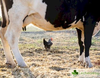 Пилешкото вдига холестерола също както свинско и агнешко