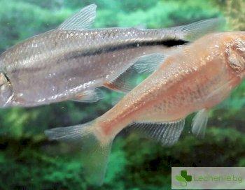 Рибите възстановяват сърцето след инфаркт