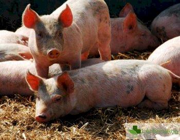 Започват трансплантации на свински сърца на хора след 2022 г.