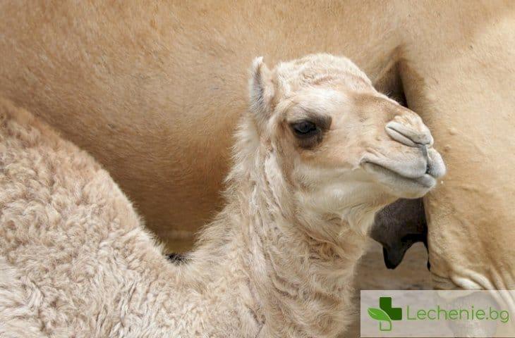 Млякото от камила потенциално лекарство при захарна болест