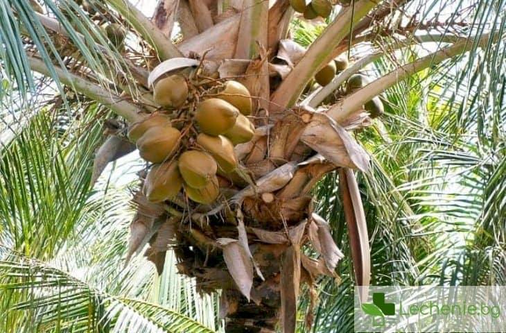 9 ползи от кокосовата палма