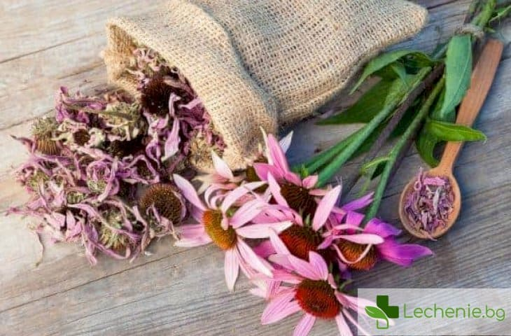 Цветя срещу простуда - голямата заблуда за ехинацеята