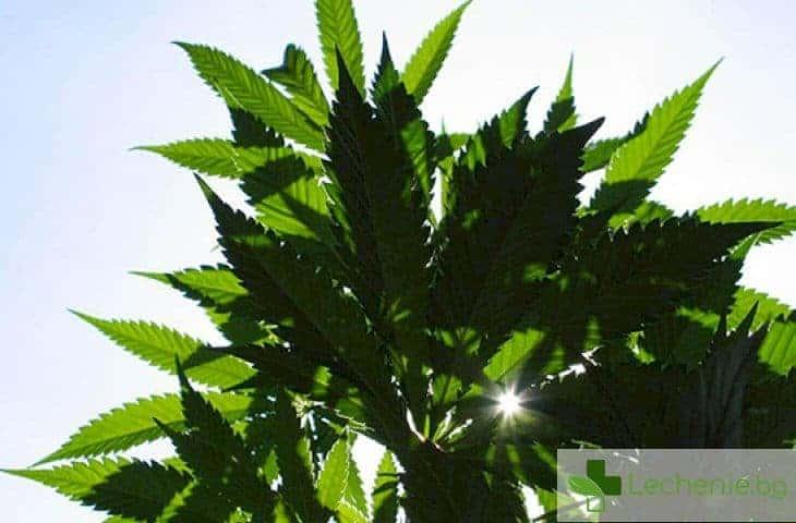 Няма доказателства за ефективността на марихуаната като лекарствено средство