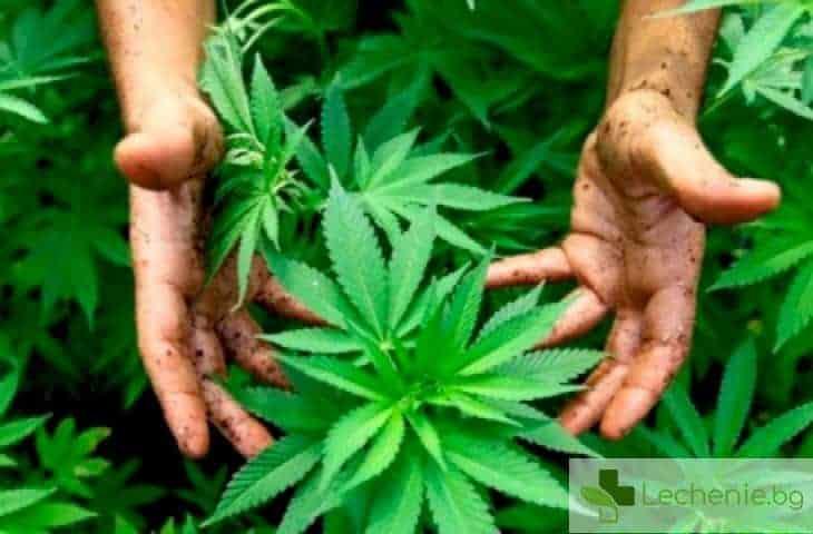 Как се лекува зависимостта от марихуана - лекарите не знаят