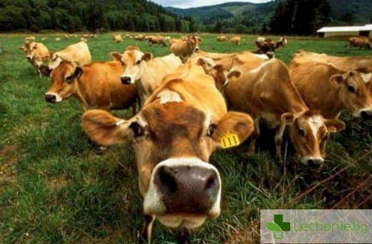 Нодуларен дерматит по едрия рогат добитък - има ли опасност за човека