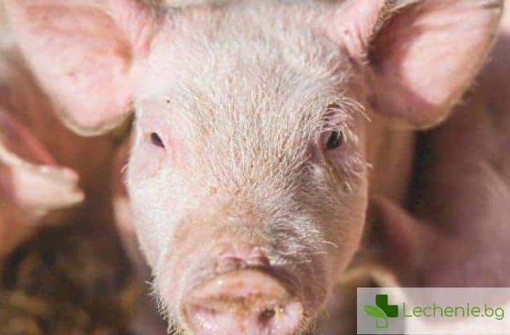Започва отглеждане на човешки органи в тялото на прасета