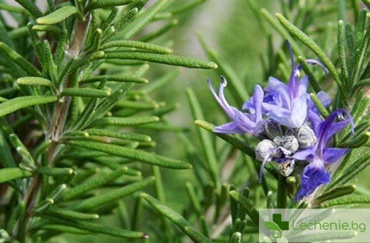 Кои билки са най-ефикасни при разширени вени