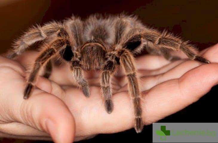 Как отровата на тарантулата се превърна в лек срещу хронична болка и диабет