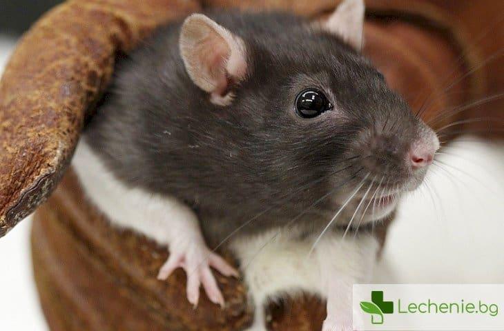 Лекарства за рак лекуват мишки, заразени с хепатит B
